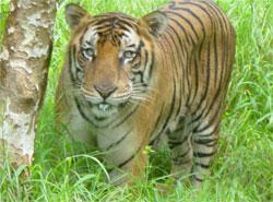 tiger1_s.jpg