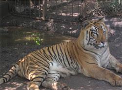 tiger2_s.jpg